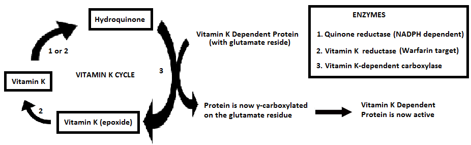 Cycle Vitamin as The Vitamin k Cycle